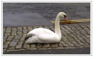 Swan in Ely