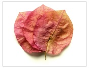 bougainvillea pressed