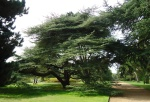 Standing beneath the Tree of Knowledge aka Atlantic cedar