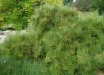 Ephedra major subsp procera
