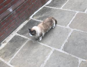 long-haired Siamese cat