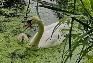 swan with one cygnet